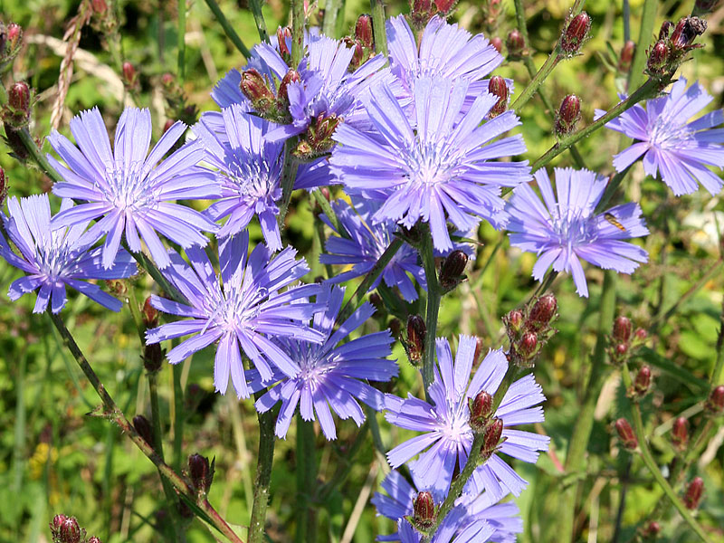 Chicory | Bach Flower Learning Programme & Educational ...